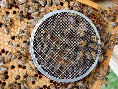 Как сделать из пчелы матку