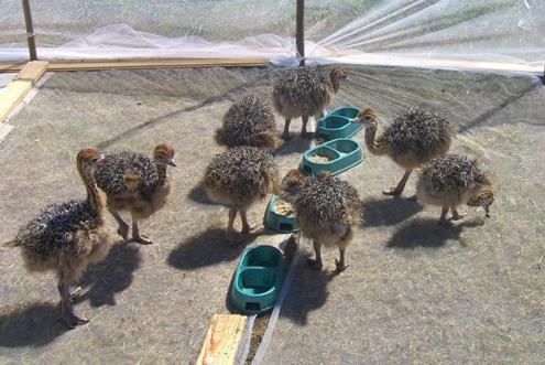 Разведение страусов в домашних условиях Животноводство