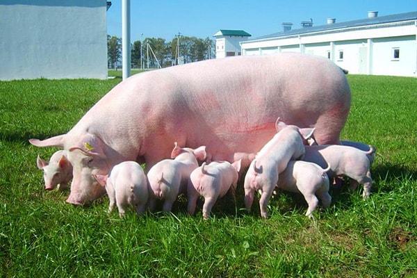 многоплодие у свиней