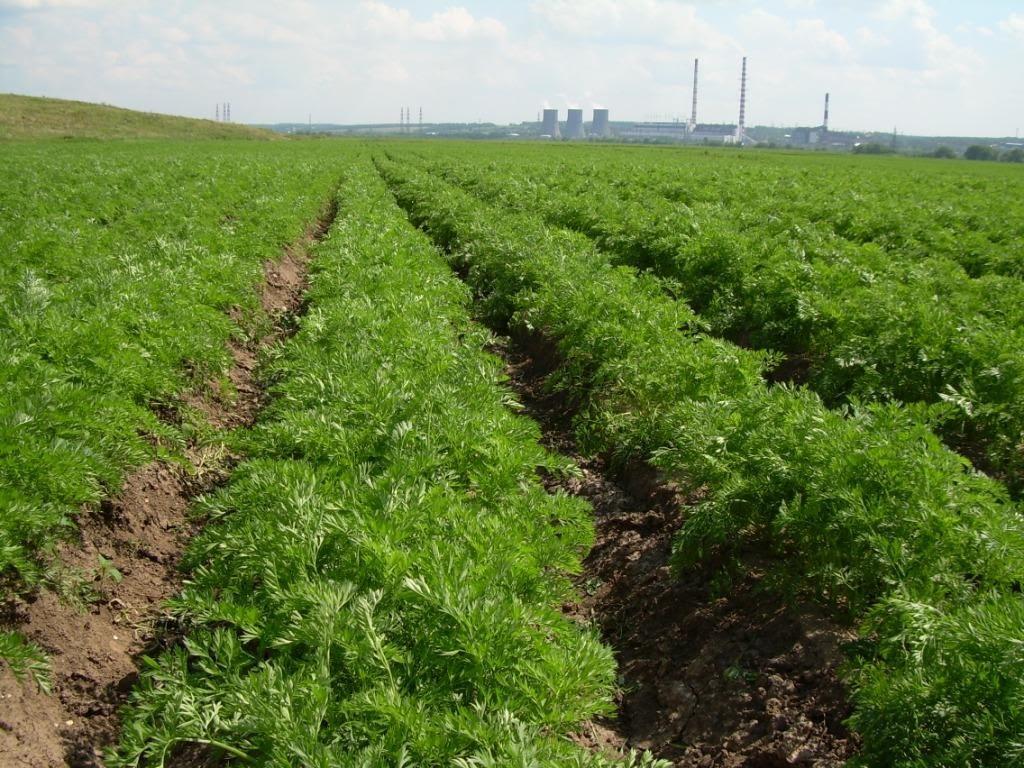 Бизнес на выращивании моркови 453
