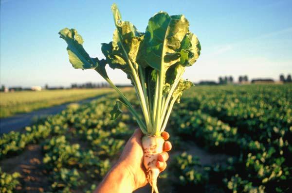 Возделывание сахарной свеклы - помощник агронома 40