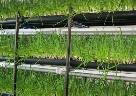 всегда Выращивание зеленого лука в подвале расследователей поняла