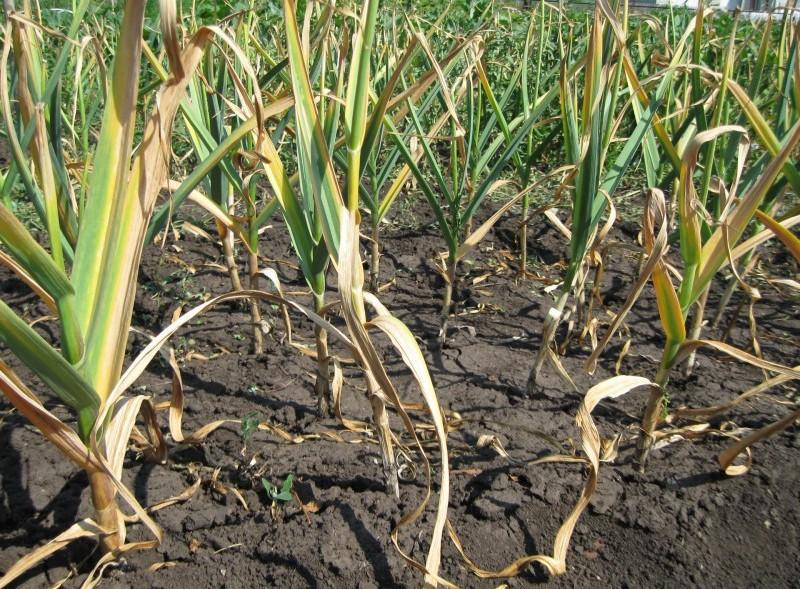 Секреты эффективного выращивания чеснока, проверенные десятилетиями