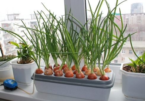 Как вырастить лук дома 2 пошаговые инструкции с фото 97