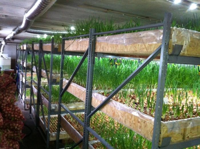 Выращивание лука на зелень в теплице
