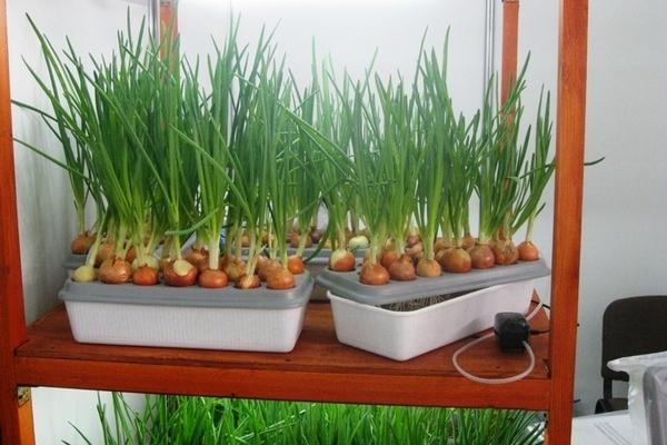 Выращивание зеленых на гидропонике 287