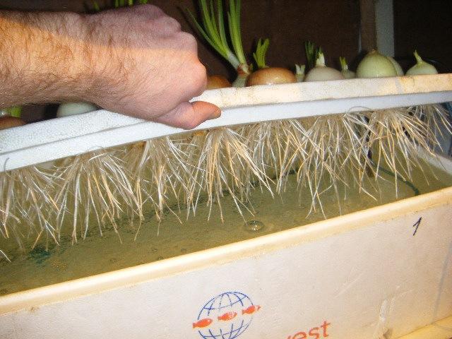 Выращивание зеленых на гидропонике 540