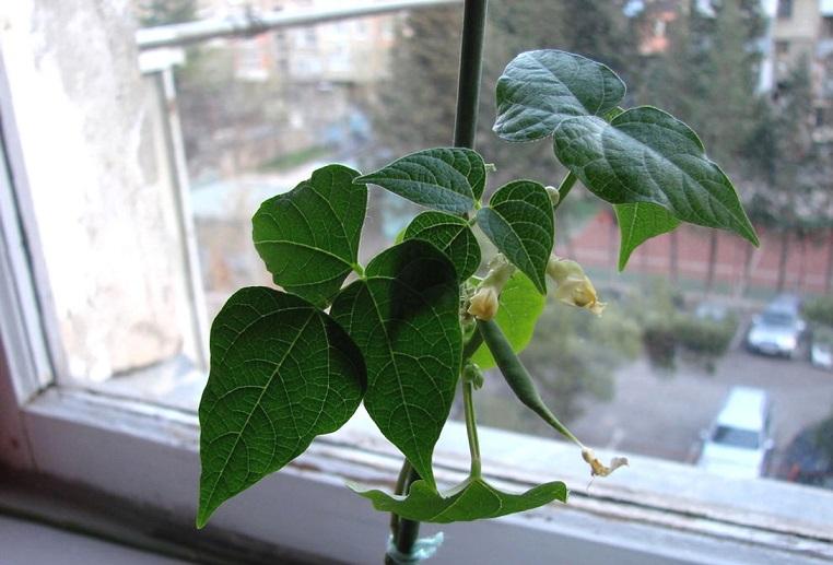 Выращивание фасоли в домашних условиях