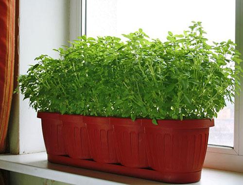 Выращивание петрушки в домашних условиях 66