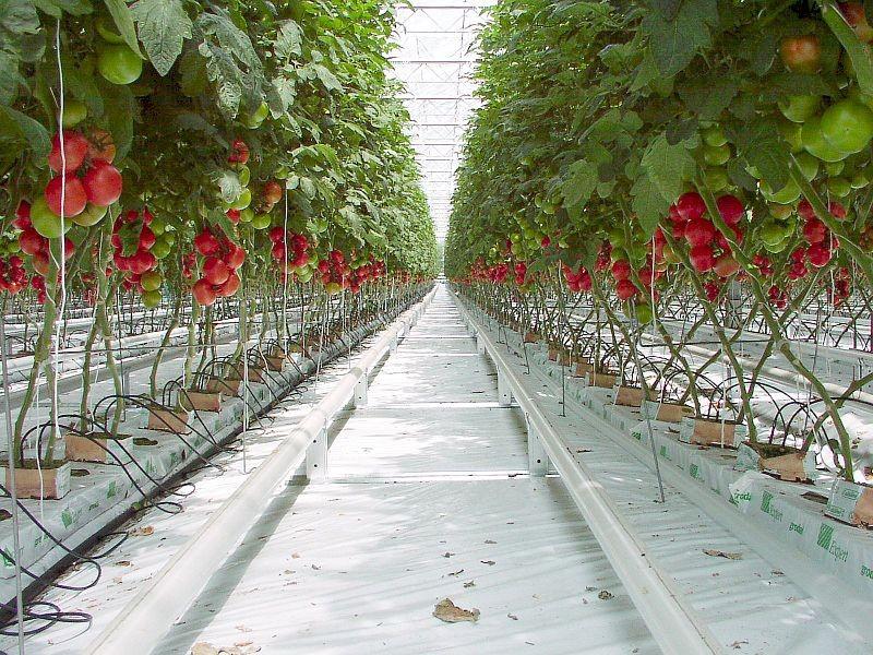 Теплицы для выращивания помидоров зимой 815