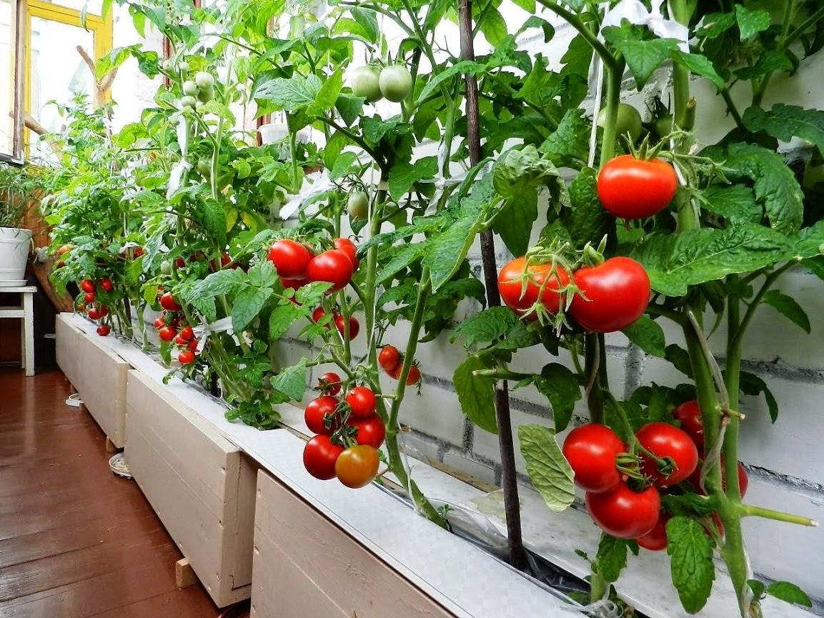 Как правильно выращивать помидор в домашних условиях 17