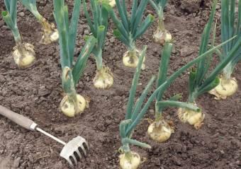 Озимый лук технология выращивания