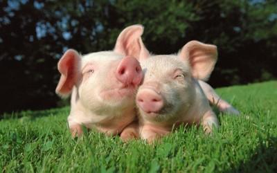 Поросята беконных пород свиней