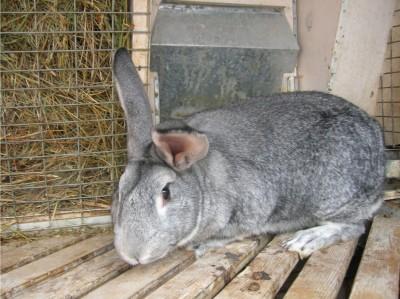 Содержание кроликов шиншиллы